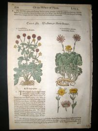 Gerards Herbal 1633 Hand Col Botanical Print. Caryophyllata, Mountain Cloves